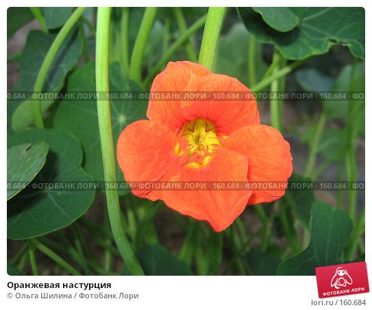 Оранжевая настурция, фото № 160684, снято 8 августа 2007 г. (c) Ольга Шилина / Фотобанк Лори