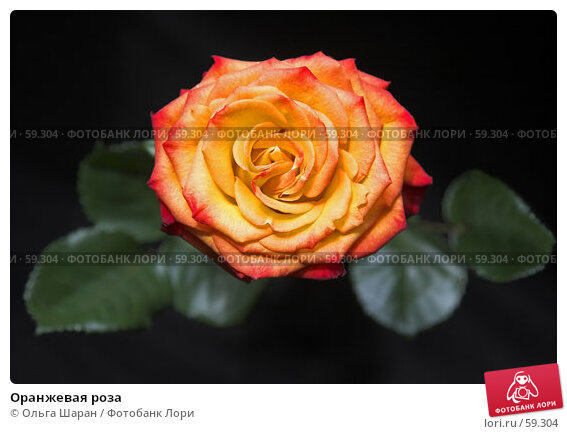 Оранжевая роза, фото № 59304, снято 6 июля 2007 г. (c) Ольга Шаран / Фотобанк Лори