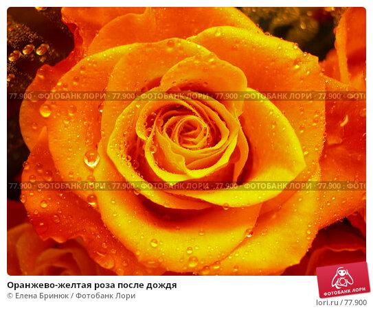 Оранжево-желтая роза после дождя, фото № 77900, снято 30 июля 2007 г. (c) Елена Бринюк / Фотобанк Лори