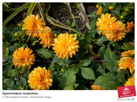 Оранжевые георгины, фото № 78220, снято 30 июня 2007 г. (c) Моисеева Галина / Фотобанк Лори