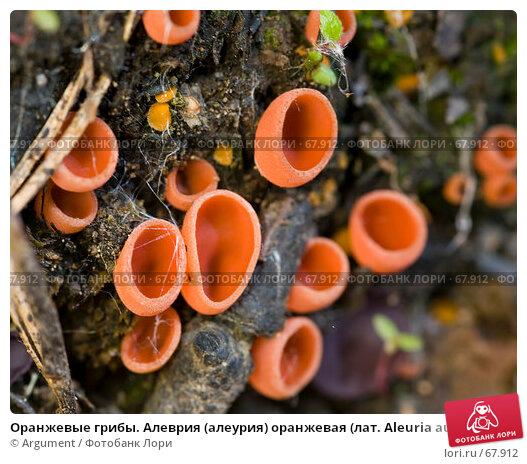 Оранжевые грибы. Алеврия (алеурия) оранжевая (лат. Aleuria aurantia), фото № 67912, снято 23 июня 2007 г. (c) Argument / Фотобанк Лори