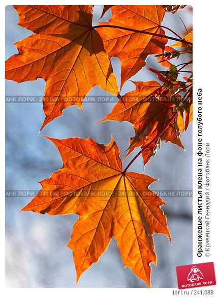 Оранжевые листья клена на фоне голубого неба, фото № 241088, снято 21 января 2017 г. (c) Кравецкий Геннадий / Фотобанк Лори