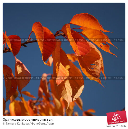 Оранжевые осенние листья, фото № 13056, снято 18 ноября 2006 г. (c) Tamara Kulikova / Фотобанк Лори