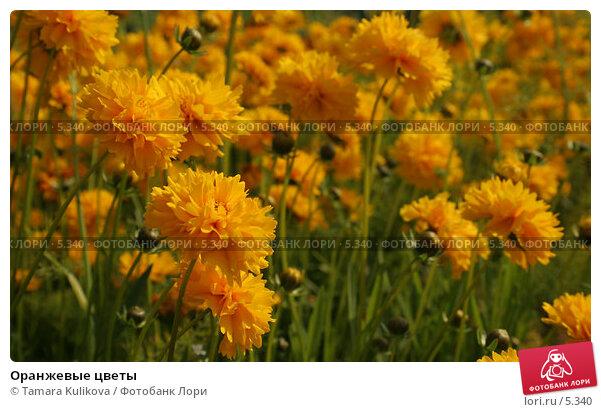 Купить «Оранжевые цветы», фото № 5340, снято 1 июля 2006 г. (c) Tamara Kulikova / Фотобанк Лори