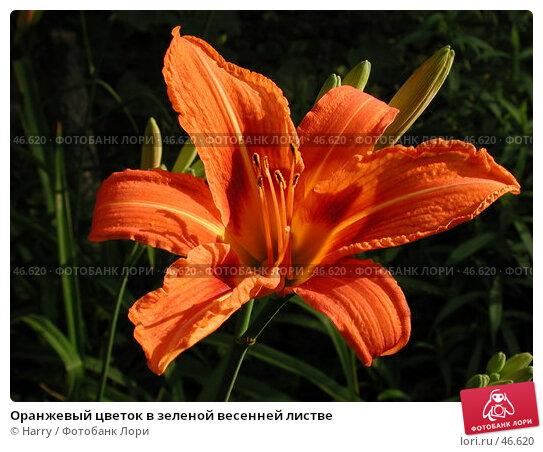 Оранжевый цветок в зеленой весенней листве, фото № 46620, снято 24 июня 2004 г. (c) Harry / Фотобанк Лори