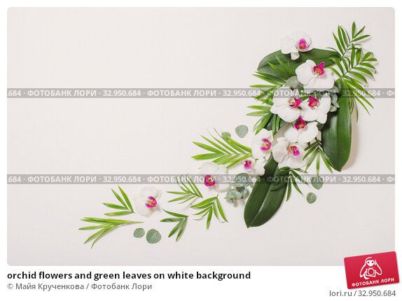 orchid flowers and green leaves on white background. Стоковое фото, фотограф Майя Крученкова / Фотобанк Лори