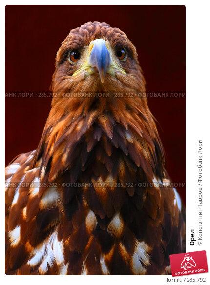 Купить «Орел», фото № 285792, снято 4 июня 2007 г. (c) Константин Тавров / Фотобанк Лори