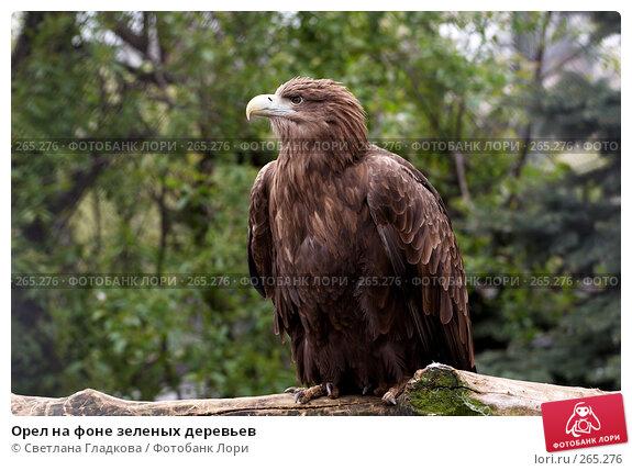 Орел на фоне зеленых деревьев, фото № 265276, снято 19 апреля 2008 г. (c) Cветлана Гладкова / Фотобанк Лори
