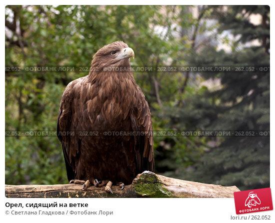 Купить «Орел, сидящий на ветке», фото № 262052, снято 19 апреля 2008 г. (c) Cветлана Гладкова / Фотобанк Лори