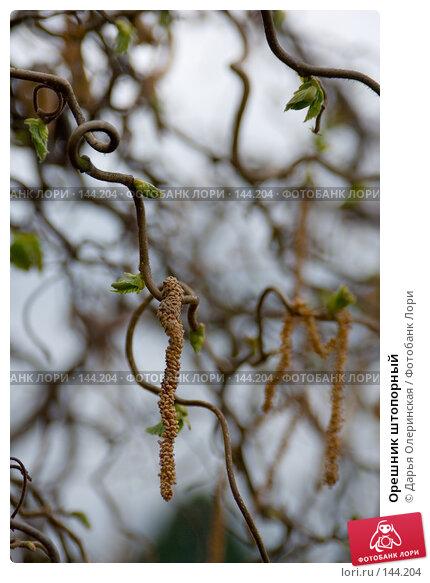 Орешник штопорный, фото № 144204, снято 12 апреля 2007 г. (c) Дарья Олеринская / Фотобанк Лори
