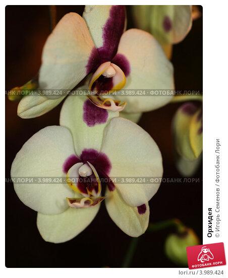 Орхидея, фото № 3989424, снято 8 января 2012 г. (c) Игорь Семенов / Фотобанк Лори