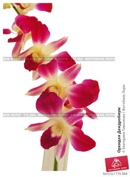 Орхидея Дендробиум, фото № 115564, снято 13 ноября 2007 г. (c) Екатерина Тимонова / Фотобанк Лори