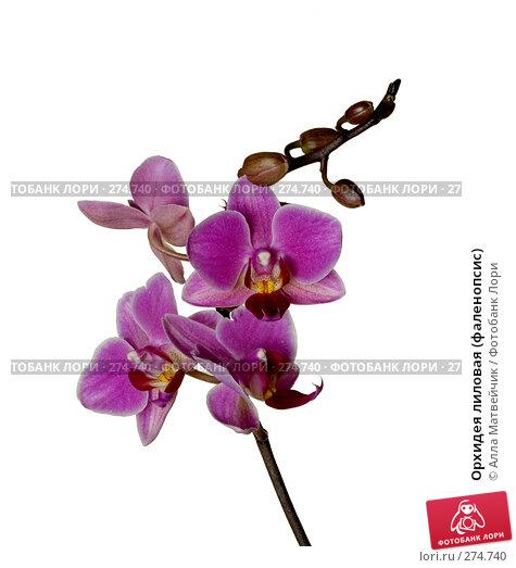 Орхидея лиловая (фаленопсис), фото № 274740, снято 24 марта 2017 г. (c) Алла Матвейчик / Фотобанк Лори