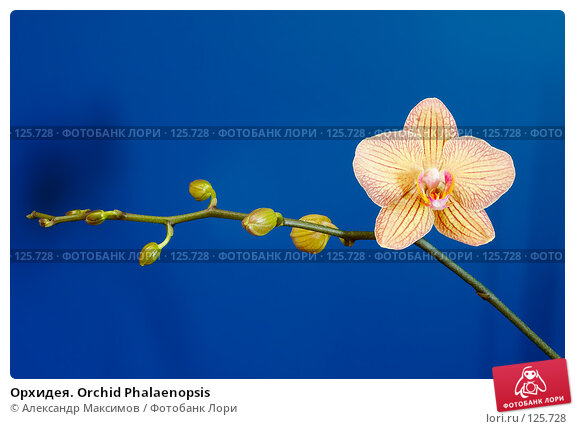 Орхидея. Orchid Phalaenopsis, фото № 125728, снято 23 сентября 2006 г. (c) Александр Максимов / Фотобанк Лори