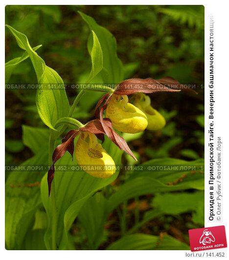 Орхидея в Приморской тайге. Венерин башмачок настоящий (лат. Cypripedium calceolus), фото № 141452, снято 2 июня 2007 г. (c) Олег Рубик / Фотобанк Лори