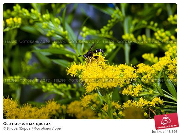 Купить «Оса на желтых цветах», фото № 118396, снято 5 августа 2007 г. (c) Игорь Жоров / Фотобанк Лори