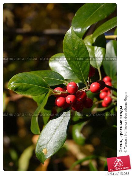 Осень, красные ягоды, фото № 13088, снято 19 ноября 2006 г. (c) Tamara Kulikova / Фотобанк Лори