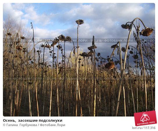 Купить «Осень,  засохшие подсолнухи», фото № 117316, снято 1 ноября 2006 г. (c) Галина  Горбунова / Фотобанк Лори