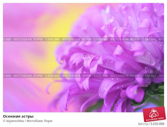 Купить «Осенние астры», фото № 3030888, снято 27 августа 2011 г. (c) kiyanochka / Фотобанк Лори
