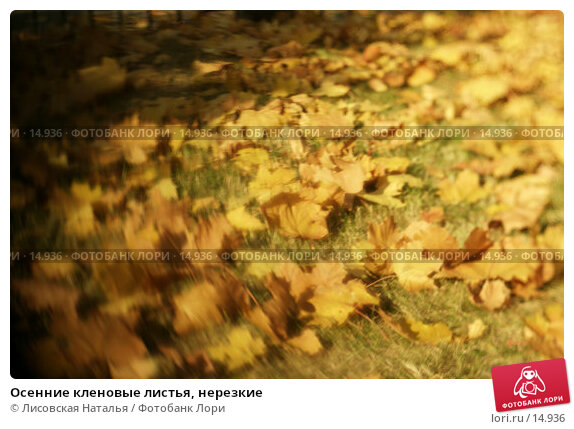 Купить «Осенние кленовые листья, нерезкие», фото № 14936, снято 2 октября 2005 г. (c) Лисовская Наталья / Фотобанк Лори