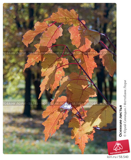 Осенние листья, фото № 58540, снято 16 октября 2004 г. (c) Юрий Синицын / Фотобанк Лори