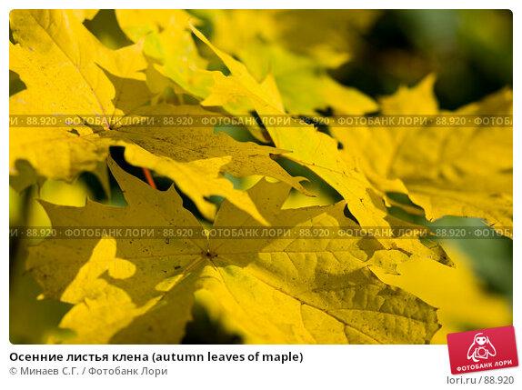 Осенние листья клена (autumn leaves of maple), фото № 88920, снято 22 сентября 2007 г. (c) Минаев С.Г. / Фотобанк Лори