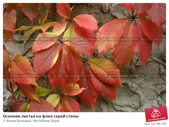 Осенние листья на фоне серой стены, фото № 49132, снято 5 октября 2006 г. (c) Елена Блохина / Фотобанк Лори