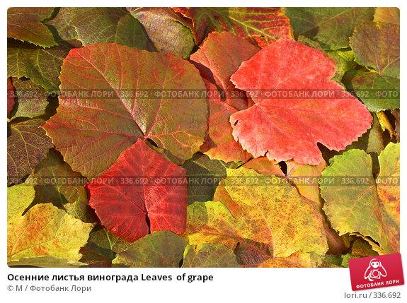 Осенние листья винограда Leaves  of grape, фото № 336692, снято 21 января 2017 г. (c) Михаил / Фотобанк Лори