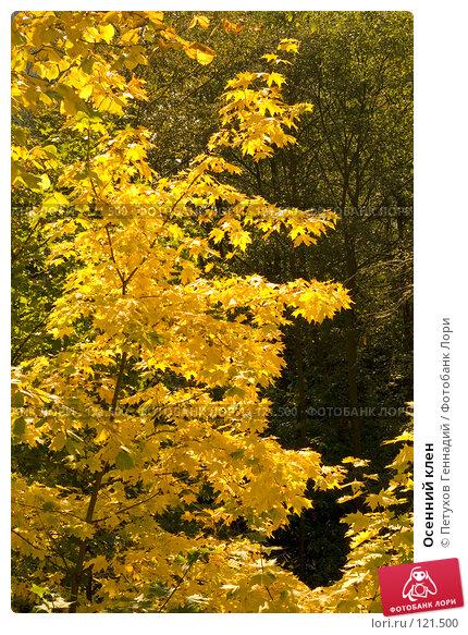 Осенний клен, фото № 121500, снято 22 сентября 2007 г. (c) Петухов Геннадий / Фотобанк Лори