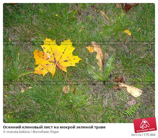 Осенний кленовый лист на мокрой зеленой траве, фото № 175064, снято 25 октября 2006 г. (c) maruta bekina / Фотобанк Лори