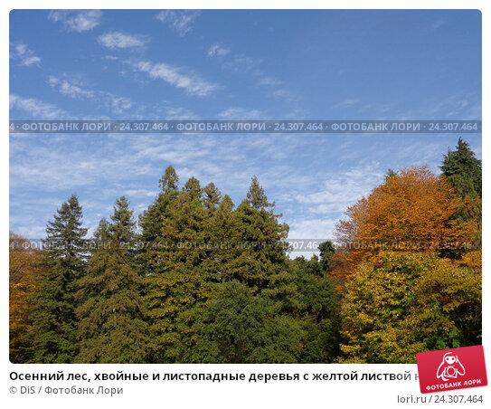 Купить «Осенний лес, хвойные и листопадные деревья с желтой листвой на фоне голубого неба», фото № 24307464, снято 9 ноября 2016 г. (c) DiS / Фотобанк Лори