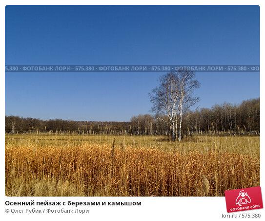 Купить «Осенний пейзаж с березами и камышом», фото № 575380, снято 9 ноября 2008 г. (c) Олег Рубик / Фотобанк Лори