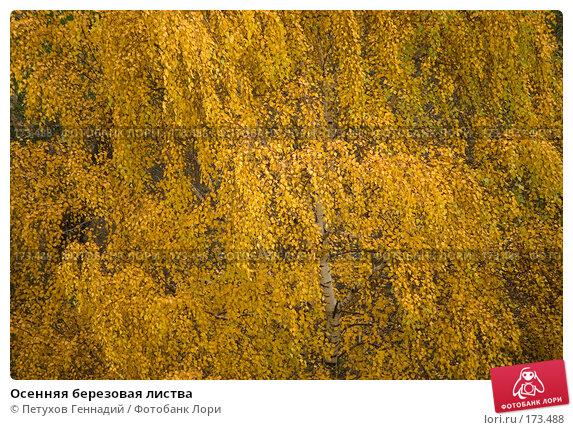 Осенняя березовая листва, фото № 173488, снято 23 октября 2007 г. (c) Петухов Геннадий / Фотобанк Лори
