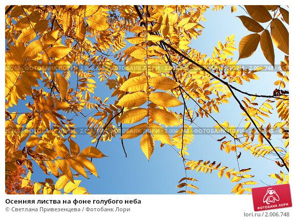 Осенняя листва на фоне голубого неба. Стоковое фото, фотограф Светлана Привезенцева / Фотобанк Лори