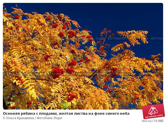 Осенняя рябина с плодами, желтая листва на фоне синего неба, фото № 13980, снято 21 сентября 2006 г. (c) Ольга Красавина / Фотобанк Лори