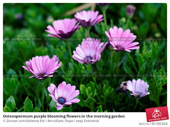 Osteospermum purple blooming flowers in the morning garden. Стоковое фото, фотограф Zoonar.com/Iulianna Est / easy Fotostock / Фотобанк Лори