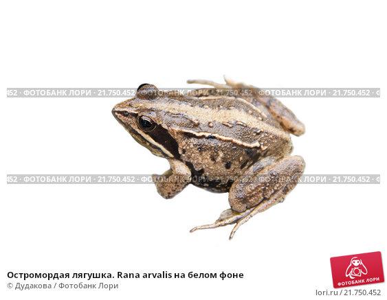 Купить «Остромордая лягушка. Rana arvalis на белом фоне», фото № 21750452, снято 9 сентября 2012 г. (c) Дудакова / Фотобанк Лори
