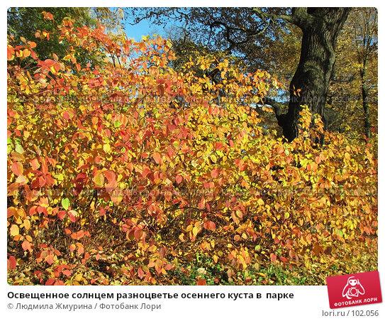 Освещенное солнцем разноцветье осеннего куста в  парке, фото № 102056, снято 19 августа 2017 г. (c) Людмила Жмурина / Фотобанк Лори