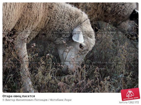 Отара овец пасется, фото № 262172, снято 21 октября 2005 г. (c) Виктор Филиппович Погонцев / Фотобанк Лори
