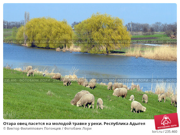 Отара овец пасется на молодой травке у реки. Республика Адыгея, фото № 235460, снято 6 апреля 2006 г. (c) Виктор Филиппович Погонцев / Фотобанк Лори
