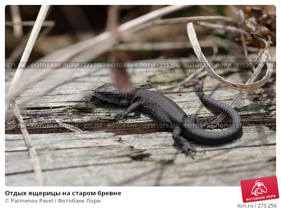 Отдых ящерицы на старом бревне, фото № 273256, снято 2 мая 2008 г. (c) Parmenov Pavel / Фотобанк Лори