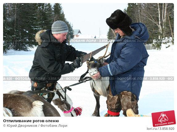 Отпиливание рогов оленю (2010 год). Редакционное фото, фотограф Юрий Дворников / Фотобанк Лори