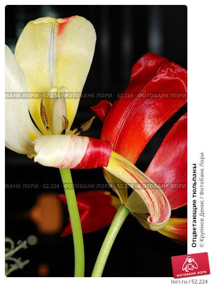 Отцветающие тюльпаны, фото № 52224, снято 18 апреля 2007 г. (c) Крупнов Денис / Фотобанк Лори