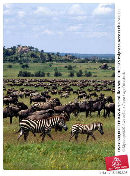 Купить «Over 600,000 ZEBRAS & 1.5 million WILDEBEESTS migrate across the SERENGETI PLAINS yearly _ MORU KOPJES AREA _ TANZANIA», фото № 13435396, снято 27 марта 2019 г. (c) age Fotostock / Фотобанк Лори