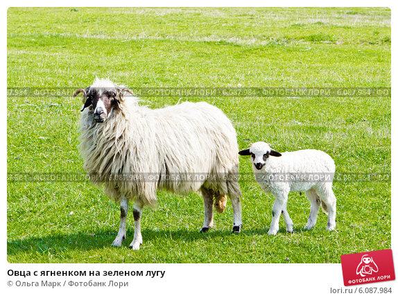 Купить «Овца с ягненком на зеленом лугу», фото № 6087984, снято 7 апреля 2014 г. (c) Ольга Марк / Фотобанк Лори