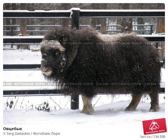 Овцебык, фото № 134508, снято 7 ноября 2004 г. (c) Serg Zastavkin / Фотобанк Лори