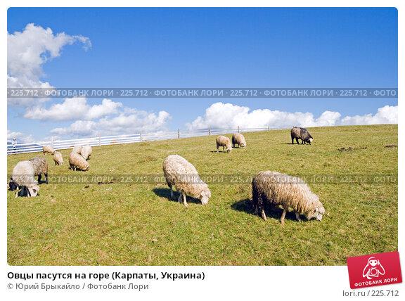 Овцы пасутся на горе (Карпаты, Украина), фото № 225712, снято 29 сентября 2007 г. (c) Юрий Брыкайло / Фотобанк Лори