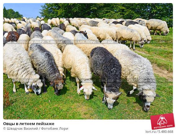 Купить «Овцы в летнем пейзаже», фото № 5480668, снято 30 июля 2013 г. (c) Швадчак Василий / Фотобанк Лори