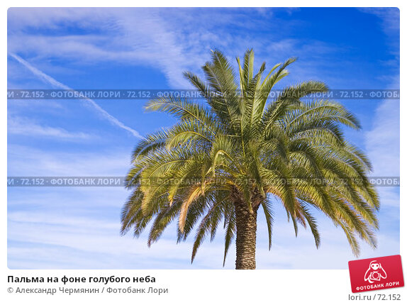 Пальма на фоне голубого неба, фото № 72152, снято 22 июля 2007 г. (c) Александр Чермянин / Фотобанк Лори