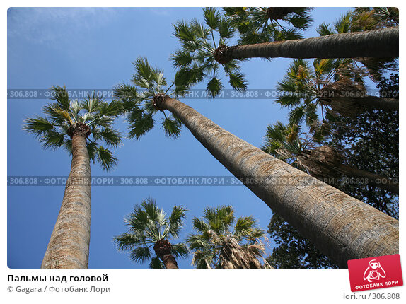 Пальмы над головой, фото № 306808, снято 11 марта 2008 г. (c) Gagara / Фотобанк Лори